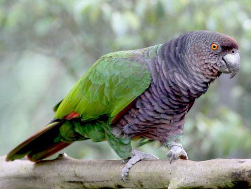 Fauna Dominika