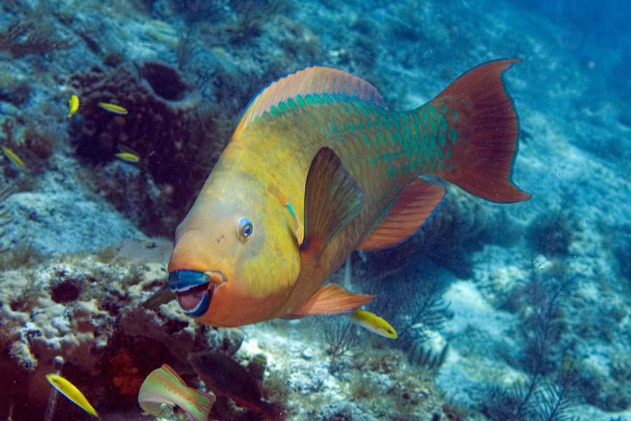 рыба Сент-Китс и Невис