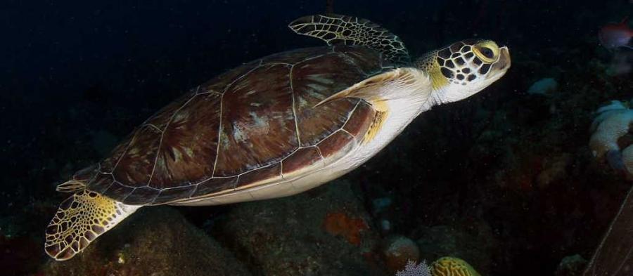 черепах на острове Невис
