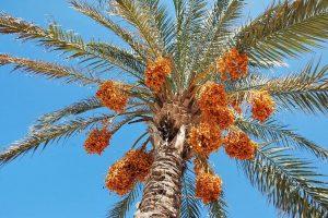 oae_date-palms
