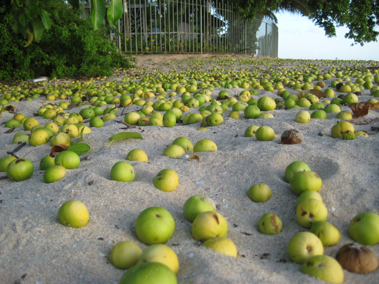 Плоды манцинеллового дерева