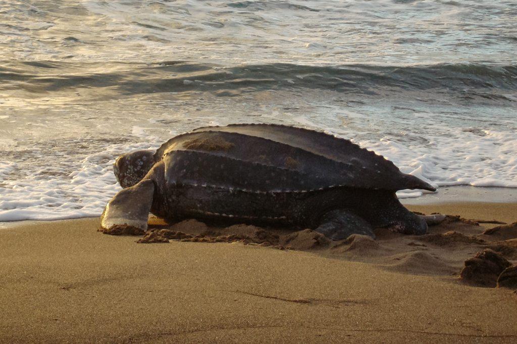 черепахи в Невисе