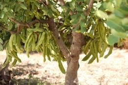 рожковое дерево Кипр