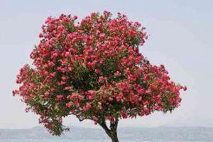 олеандр Кипр