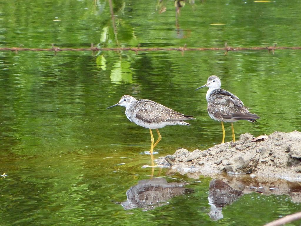 птицы в Невисе
