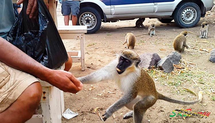 обезьяны в Сент-Китс и Невис