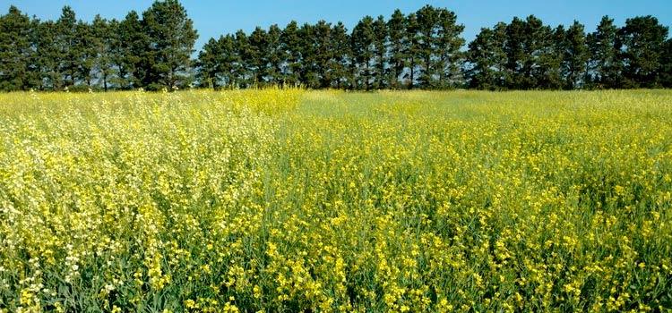 Brassica carinata – перспективное направление