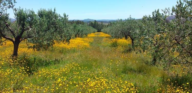 Оливковая ферма – возможность, инвестировать в Уругвай