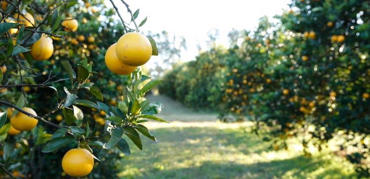 инвестиции в апельсиновые плантации Agri Terra