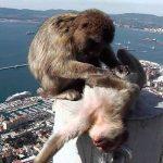 Обезьяны Гибралтара предпочитают Кровь Нельсона
