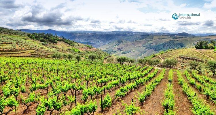Виноградник в Португалии - картинка